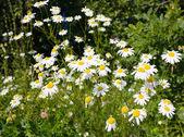 Daisies, meadow — Stock Photo