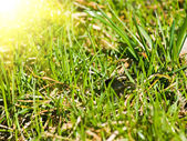 Young spring grass — Stock Photo