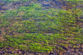 Algae in the river, an abstract backgrou — Stock Photo