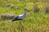 Stork in the grass — Stockfoto