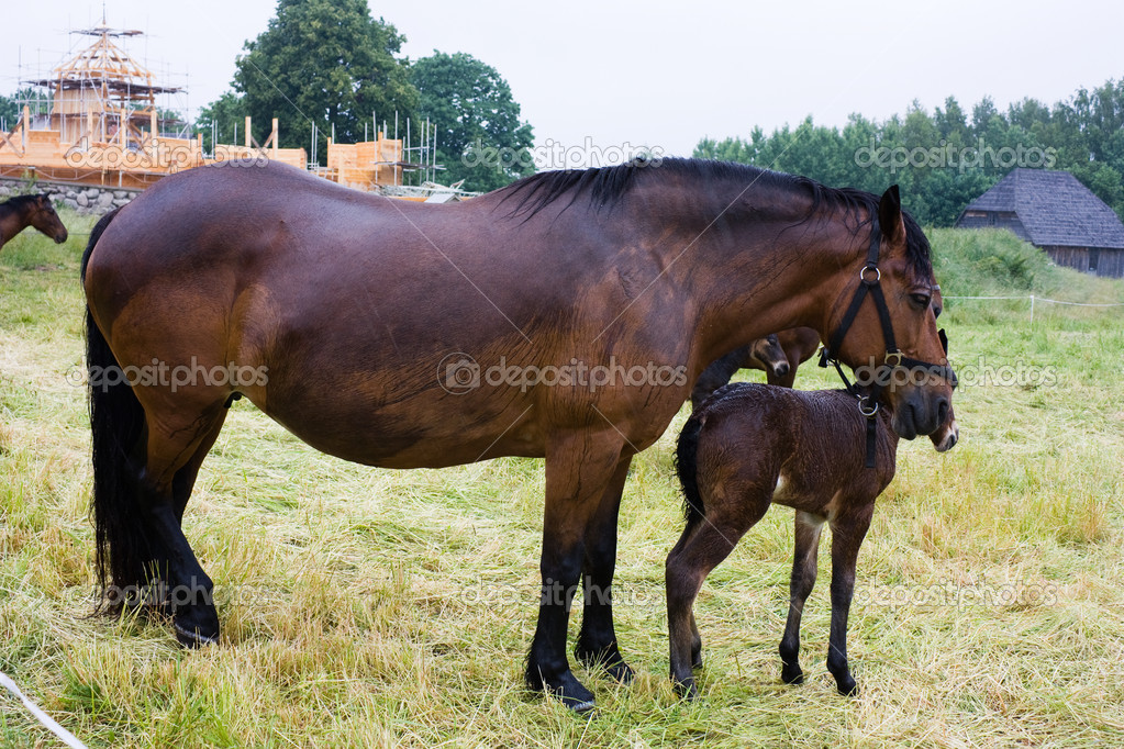Horse and foal rainy day — Stock Photo #1085762