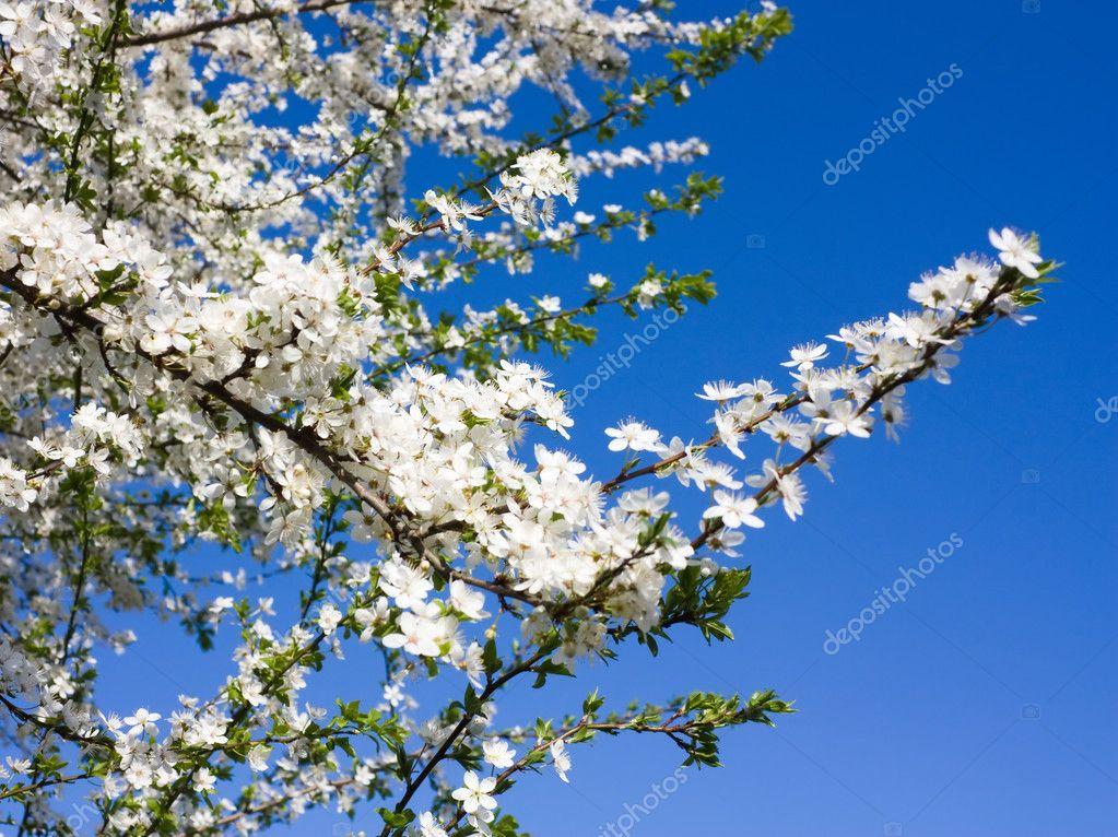 苹果树花 — 图库照片08aleksask#1089356