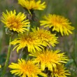 Dandelions macro — Stock Photo #1090092