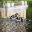 Stock Photo: Duck with Ducklings in the lake