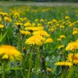 Dandelion field — Stock Photo #1090549