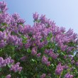 Lilac on a background of blue skies — Stock Photo