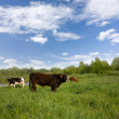 Royalty-Free Stock Photo: Bull and two cows on the meadow