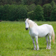 Stock Photo: White horse on meadow
