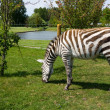 Zebra in a zoo — Photo