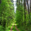 Stock Photo: Road in the woods, summer