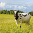 Stock Photo: Cow on the meadow