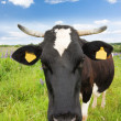 Black and white cow in the meadow — Stock Photo