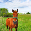 Royalty-Free Stock Photo: Horse on the meadow