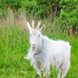 Goat on the meadow — Stock Photo
