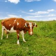 Royalty-Free Stock Photo: Cow on the field