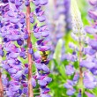 Bluebonnet and bee — Stock Photo