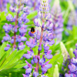 Bluebonnet — Stock Photo #1091530