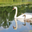 Stock Photo: Swan and young