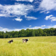 Cows on the meadow — Foto de Stock