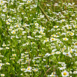 Royalty-Free Stock Photo: Camomile