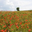 Field of red poppies — Stock Photo #1091814