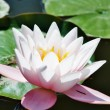 Water lily — Stock Photo #1091834