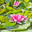 Water lily — Stock Photo #1091851