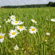 Daisies in a field — Stock Photo #1092053