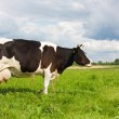 Cows eat grass on the field — Stock Photo