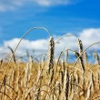 Field of ripe wheat - Stock Photo