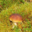 Forest mushroom in the moss — Stock Photo #1092452
