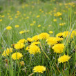 Foto Stock: Yellow dandelions on lawn