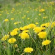 Foto de Stock  : Yellow dandelions on lawn