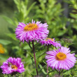 Stock Photo: Flowers aster