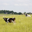 Cow on the meadow — Stock Photo #1092531