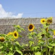 Foto Stock: Sunflowers in background of thatched