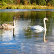 Swan and young — Stock Photo #1092633