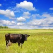 Cow on the meadow — Stock Photo #1092669