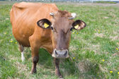 Cow on the meadow — Stock Photo