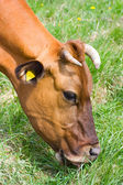 Cow eats grass — Stock Photo
