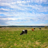 Keeping a herd of cows on the meadow — Stock Photo