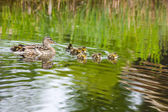 Duck with Ducklings in the lake — Stock Photo