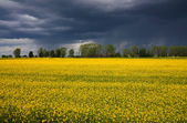 Yellow grass on field, storm, rain — Stock Photo