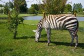 在动物园里的斑马 — 图库照片