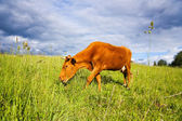 Young cow on the meadow — Stock Photo