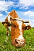 Cow eats grass — Stock Photo