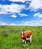 As vacas comem grama no campo de — Foto Stock