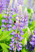 Bluebonnet — Stock Photo