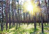 Summer forest, sun — Stock Photo
