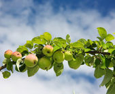 Branch of apples — Stock Photo